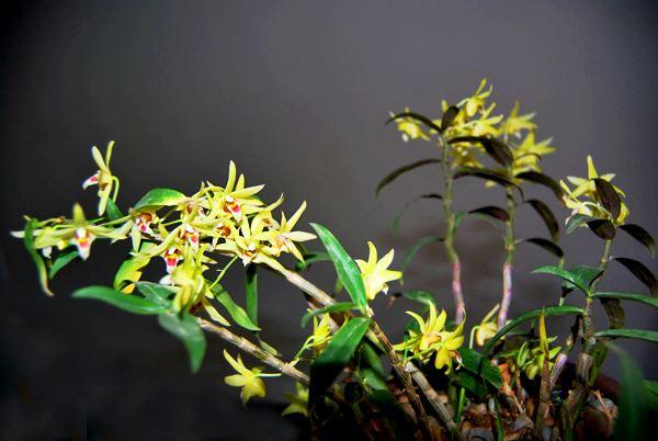 野生鐵皮石斛是怎么生長