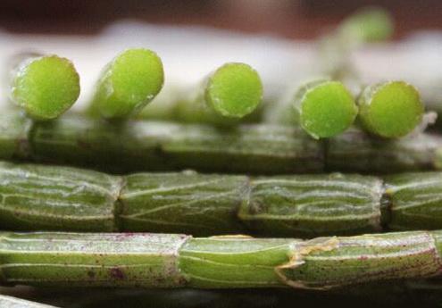 春石斛的生长环境是怎样的?