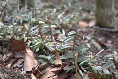 为什么金钗石斛吃起来有点苦?