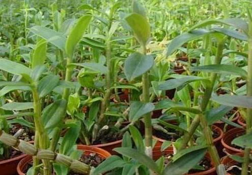种植石斛的基质怎样制作?