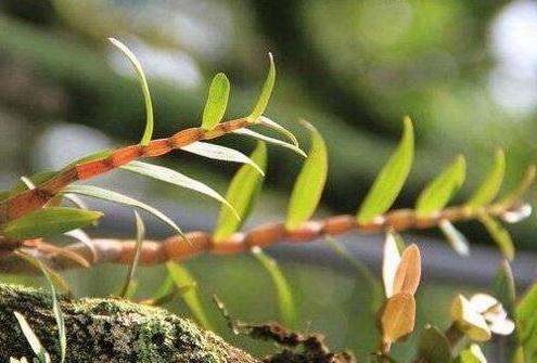 铁皮石斛可以长期食用吗?