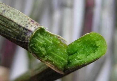 我国哪些地方适合种植铁皮石斛?