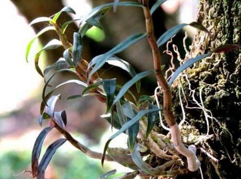 铁皮石斛可以防治骨质疏松吗?