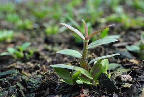 苔藓可以用来种植铁皮石斛吗?