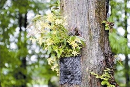 铁皮石斛盆栽有哪些好处?